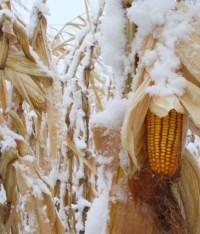Bitcorn Harvest #8