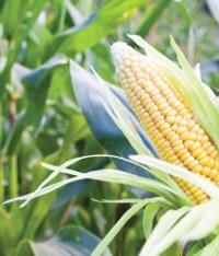 Bitcorn Harvest #13